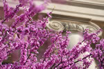 Blooms on one of the many redbuds on campus add color the architecture of Jessup Hall.