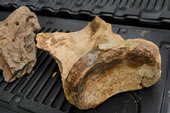 A mammoth scapula or shoulder bone was found at the site.